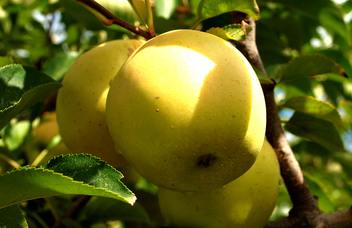 539933-golden-apple-fruit.jpg