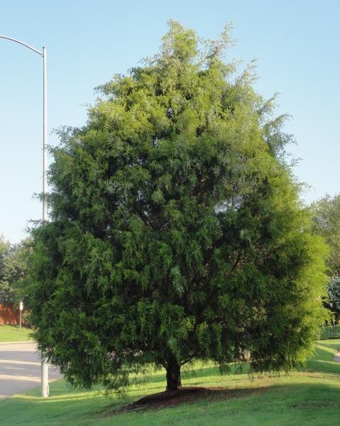 Red Cedar Tree Varieties ~ Eastern red cedar
