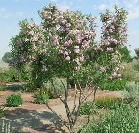 Discount Trees Of Brenham Desert Willow