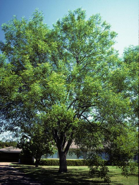 Arizona Ash