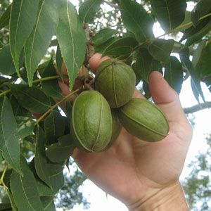 desirable_pecan_tree-image1.jpg