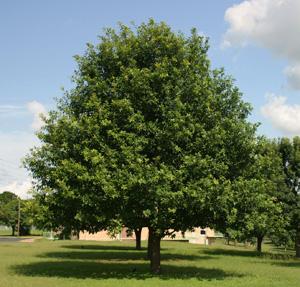 Mexican White Oak